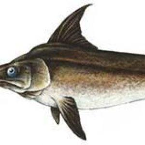 Меч риба